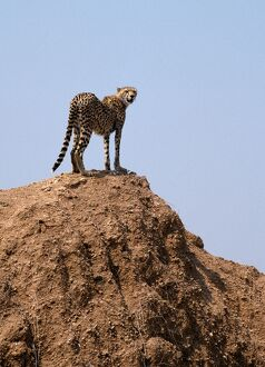 A cheetah surveys the countryside for a quarry from the top of an earth mound.