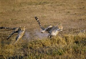 Two cheetahs sprint after their quarry