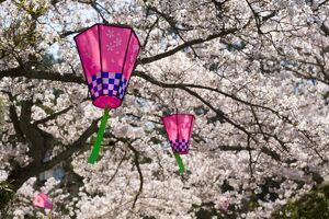 Cherry blossoms (Sakura) & decorative lanterns