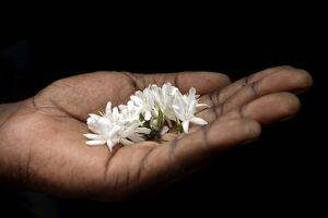 A coffee flower is held delciately in the palm of a Sao Tomense hand
