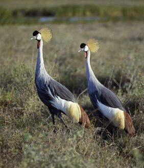 Two crowned cranes (Balearica regulorum) in Masai Mara