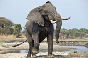 An elephant displays aggression on the banks of the Katuma River.