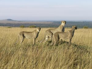 A family of three young cheetahs stand on a termite