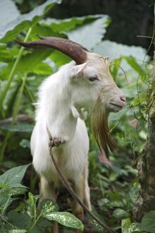 A goat in Sao Tomé and Principé