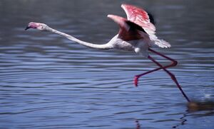 A greater flamingo takes off from the alkaline waters of Lake Bogoria