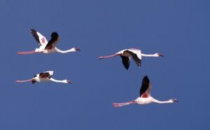 Greater flamingos in flight over Lake Turkana