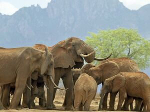 A herd of elephants drinking at a waterhole in Tsavo West National Park, Kenya