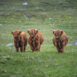 Highland Cattle, Isle of Lewis, Outer Hebrides, Scotland