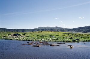 Hippos wallow in a lake in the Ngorongoro Crater.