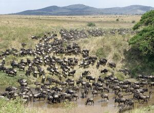 A large herd of Wildebeest and Burchell's zebra