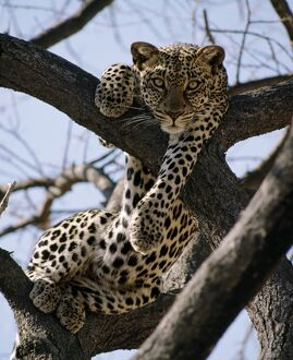 A leopard rests in the fork of an Acacia tortilis tree
