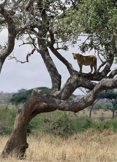 A lioness in a tree in Tarangire National Park.