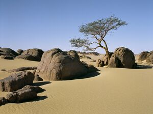 A lone Acacia tree struggles to survive among rocks