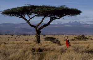 Maasai warrior framed by a flat topped acacia tree and Mt