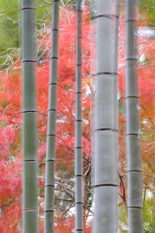 Maples trees & bamboo, Arashiyama, Kyoto, Japan