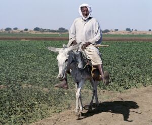 An old man rides his donkey along a path beside farmland