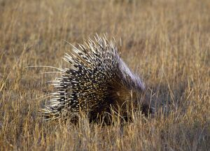 A porcupine in Masai Mara National Reserve