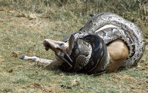 A python kills a Thomson's gazelle by constriction