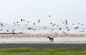 A spotted hyena chases lesser flamingos on the shoreline of Lake Nakuru, Kenya
