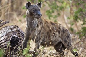 A spotted hyena in Katavi National Park.