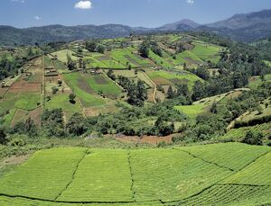 Tea gardens owned by Kikuyu smallholders near the Aberdare Mountains
