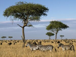 Tens of thousands of zebra and wildebeest graze the