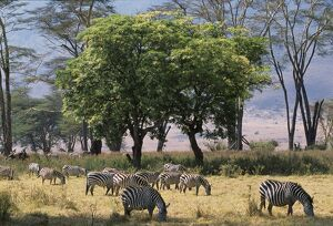 Zebra browse in Ngorongoro Crater